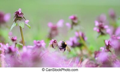 bumblebee pollinates spring meadow flowers, change of...