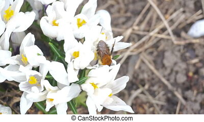 Bumblebee pollinating a white flowers - Bumblebee in fly...