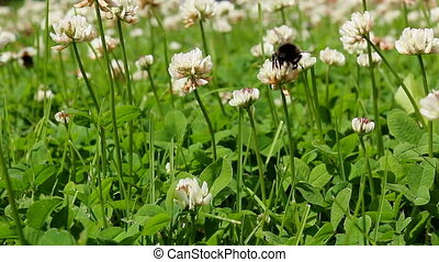 Bumblebee pollinating clover flower - Close up of a...
