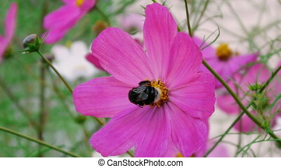 Bumblebee pollinating cosmos flower