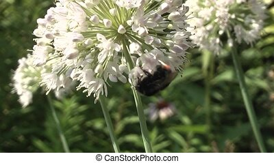 bumblebee pollinating flowers