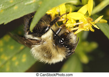 Bumblebee Pollinating Goldenrod - Grand Bend, Ontario