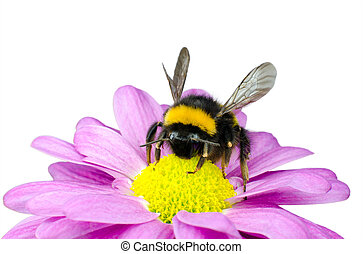 Bumblebee pollinating on Pink Daisy Flower Isolated on White Background