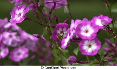 Bumblebee Pollinating Pink Flower - Steady, medium close up...