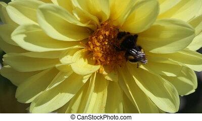 bumblebee sits on a  dahlia