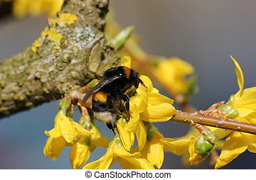 Bumblebee Sitting on a Yellow Bloom