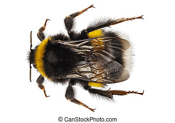 Bumblebee species Bombus terrestris common name buff-tailed bumblebee or large earth bumblebee in high definition with extreme focus and DOF (depth of field) isolated on white background