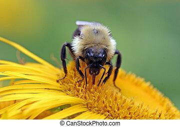 Bumblebee sucking nectar - A bumblebee sucks some nectar...