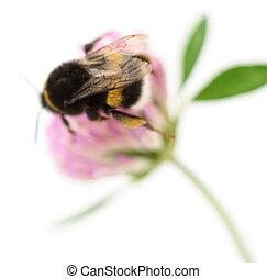 bumblebee, trevo