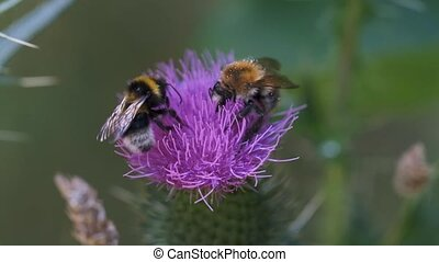 Bumblebees on a thistle
