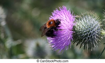 Bumblebees on a thistle - then it falls from the flower