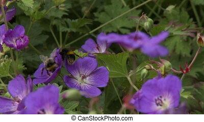 Bumblebees On Purple Geranium Cinereum Flowers - Handheld,...