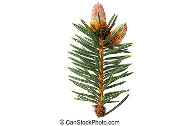 bump branch pine