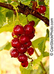 bunch berries of red currant on a bush