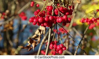 bunch berry of bright red mountain ash autumn landscape, a...