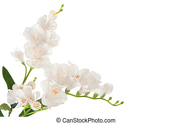 bunch beautiful branch flowering-plant with white flower, on white background, isolated