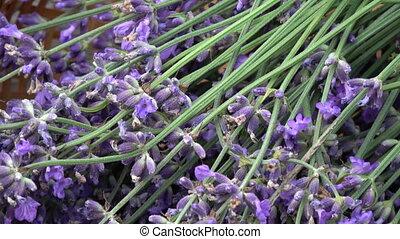 Bunch fresh lavender flowers in wicker basket on old garden...