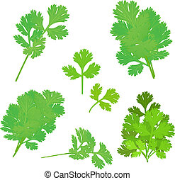 bunch fresh parsley herb isolated set
