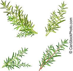 bunch fresh rosemary herb isolated set