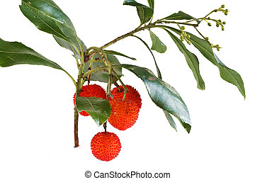 bunch of arbutus - bunch of bayberry plant over white...