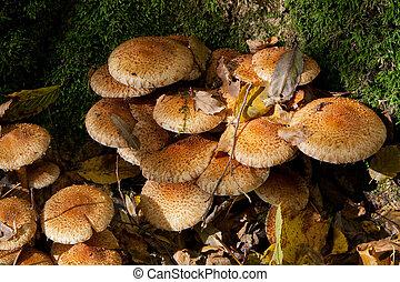 Bunch of autumnal pholiota fungi closeup