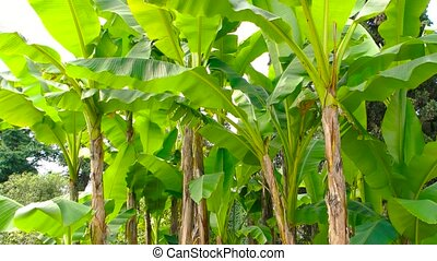 Bunch of banana trees. Plants with lush green leaves....
