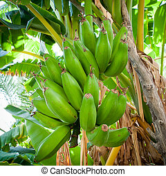 Bunch of bananas hanging from a banana tree