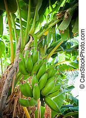 Bunch of bananas hanging from a banana tree (Salalah, Oman)