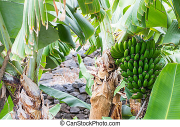 Bunch of bananas on a tree