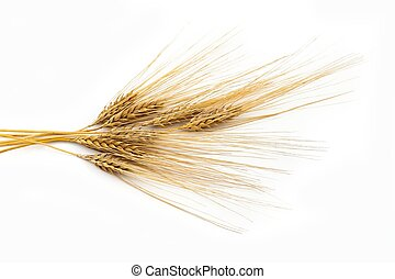 Bunch of barley - An image of a bunch of yellow ears of ...