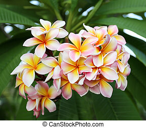 bunch of beautiful plumeria on a branch in the tropics