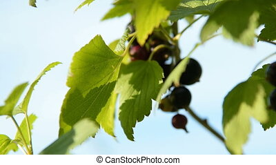 Bunch of black currant on the bush