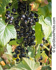 Bunch of Blackcurrants ripening in the sun