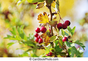 bunch of bright red berries on branch