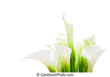 Bunch Of Calla Lilies isolated on white background. purity, innocence, fragility, elegance concept. Space for copy. Also useful as greeting card or invitation for celebrations as wedding, anniversary, valentine's day. With clipping path.