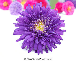 Bunch of chrysanthemum on white background