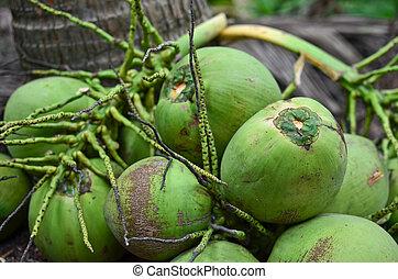 Bunch of coconut in the garden
