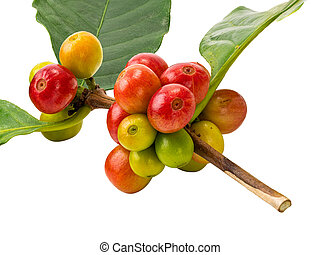 Bunch of coffee fruit with leaf isolated on white background.