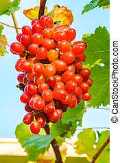 Bunch of Crimson Seedless Grapes