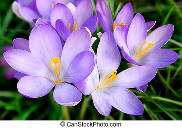 Spring outdoor shot with a bunch of light purple crocus flowers on grass
