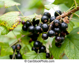 bunch of currants
