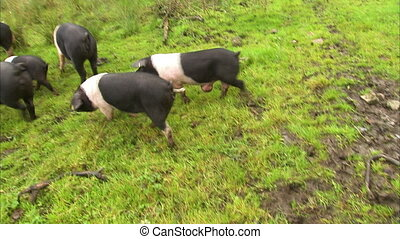 Bunch of fat spotted pigs - A shot of a bunch of spotted...