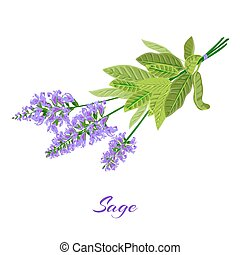 Bunch of flowering sage. Sage herb. Vector illustration