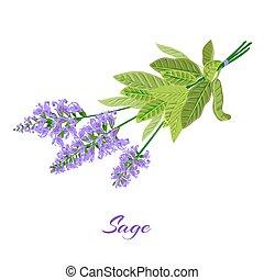 Bunch of flowering sage. Sage herb. Vector illustration