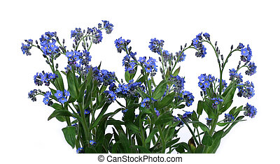forget-me-nots - bunch of forget-me-nots over clear white...