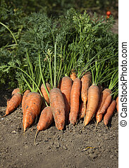 Bunch of fresh carrots with green leaves on the ground