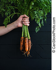 Bunch of fresh garden carrots with green leaves in the hand, black wooden backdrop