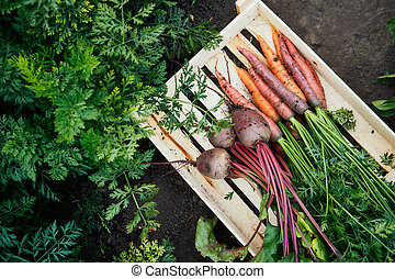 Bunch of fresh organic carrots and beets in a wooden box.