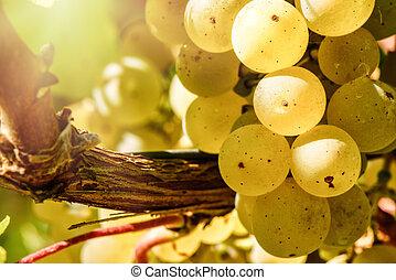 Bunch of fresh organic grape on vine branch