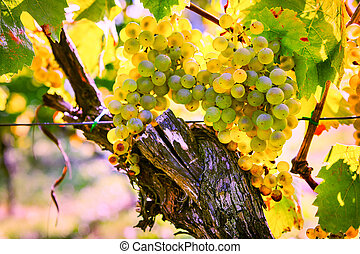 Bunch of fresh organic grape on vine branch